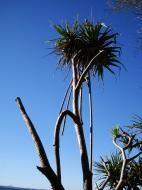 Asisbiz Trees Pandanas Tree Noosa National Park 01