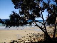 Asisbiz Trees Pandanas Tree Noosa National Park 03