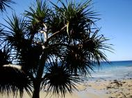Asisbiz Trees Pandanas Tree Noosa National Park 04