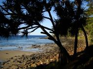 Asisbiz Trees Pandanas Tree Noosa National Park 09
