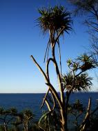 Asisbiz Trees Pandanas Tree Noosa National Park 11