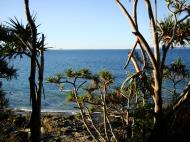 Asisbiz Trees Pandanas Tree Noosa National Park 12