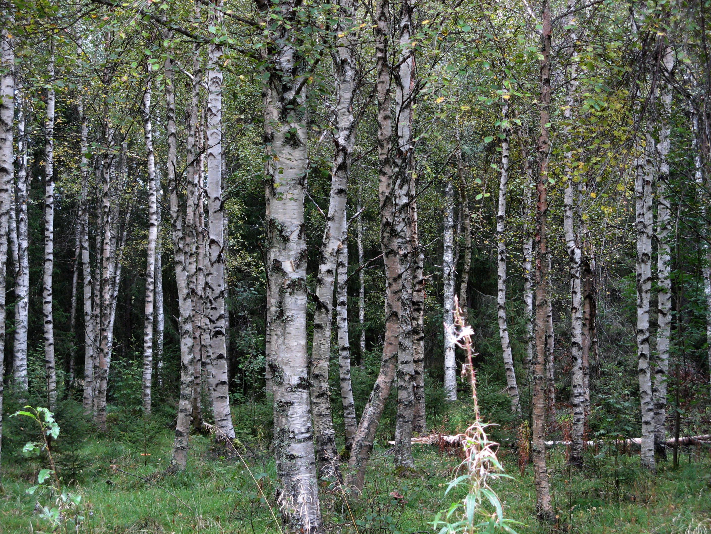 Sweden Norrbotten County Birch trees 01
