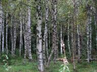 Asisbiz Sweden Norrbotten County Birch trees 01