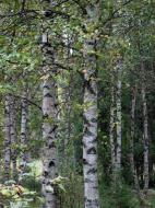 Asisbiz Sweden Norrbotten County Birch trees 02