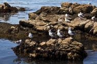 Asisbiz Bird rock area Pebble Beach area 17 Mile Drive Monterey California July 2011 02