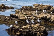 Asisbiz Bird rock area Pebble Beach area 17 Mile Drive Monterey California July 2011 03
