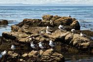 Asisbiz Bird rock area Pebble Beach area 17 Mile Drive Monterey California July 2011 04
