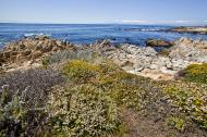 Asisbiz Coastal Flora Pebble Beach area 17 Mile Drive Monterey California July 2011 14