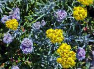 Asisbiz Coastal Flora Pebble Beach area 17 Mile Drive Monterey California July 2011 21