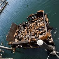 Asisbiz California Sea Lion Zalophus californianus Old Fishermans Grotto Wharf Monterey 05