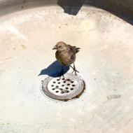 Asisbiz Sausalito bird looking for water San Francisco California July 2011 02