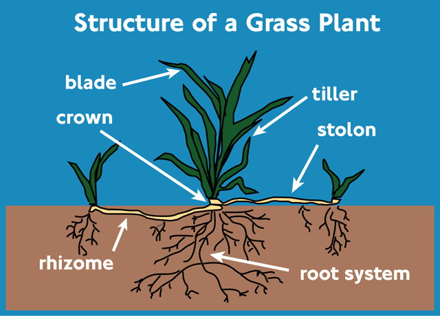 Grass-plant-structure